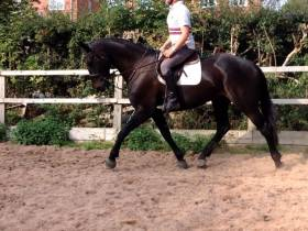 Jumbo Moon River 16.3hh 5yrs old